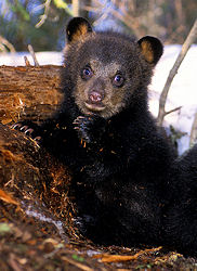 Bear cub in den, courtesy of the North American Bear Center